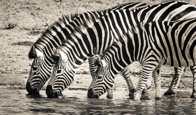 zebras iguais